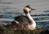 Crested grebe, podiceps cristatus, duck brooding nest — Stock Photo