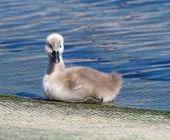 赤ちゃんミュート白鳥、白鳥座成田 — ストック写真