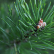 Spruce branch close up — Stock Photo