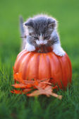Fall Themed Kitten Image — Stockfoto