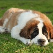 Stock Photo: Cute Saint Bernard Purebred Puppy