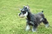 Little Minuature Schnauzer Puppy Dog — Stock Photo