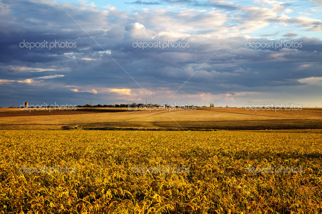 Summer landscape - wheat field at sunset  Stock Photo #12603775