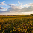 summer landscape - wheat field — Stock Photo