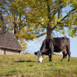 Cow on a pasture - Stock Photo