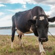 Black cow in the countyside — Stock Photo