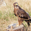 图库照片: Eagle resting on stump