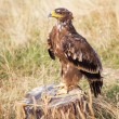 Eagle resting on a stump — Stock Photo