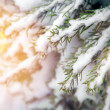 Pine tree in snow — Stock Photo
