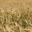 Wheat field in the countryside — Stock Photo #48201195