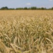 Wheat field in the countryside — Stock Photo #48201299