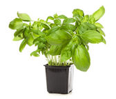 Basil leaf — Stock Photo
