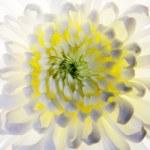 White flower macro shot — Stock Photo #5728551