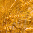 Barley — Stock Photo #15346721