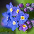 Stock Photo: Forget-me-not