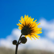 Hieracium — Stock Photo