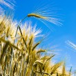 Barley — Stock Photo #36947133