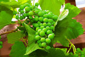 Green unripe grape — Stock fotografie