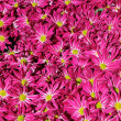 Chrysanthemum flower in the garden background — Foto Stock