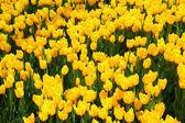 Beautiful yellow tulip field in spring — Stock Photo