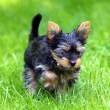 Young Yorkshire Terrier is having fun  — Stock Photo