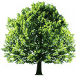 Tree with green leaves isolated  — Stock Vector