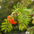 Wet branch Rowan tree with ripe berries - Stock Photo