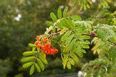 Mokrém pobočkové rowan strom s zralé bobule — Stock fotografie