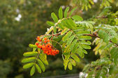 Wet branch Rowan tree with ripe berries — Stock Photo