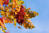 Bunch of ashberry on blue sky background — Stock Photo