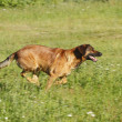 Stock Photo: Running dog