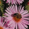 Stock Photo: Blooming Asters with bee