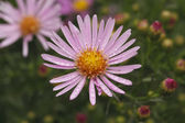 Blooming Asters — Stock Photo