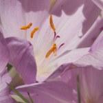 Autumn crocus (Colchicum autumnale) — Stock Photo