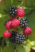 Blackberry (Rubus sectio Rubus) — Stock Photo