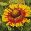 Blanket flowers (Gaillardia aristata) — Stock Photo #38915469