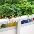 Strawberries in flowerpots on balcony - Stock Photo