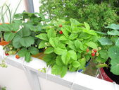 Strawberries in flowerpots on balcony — Stock Photo