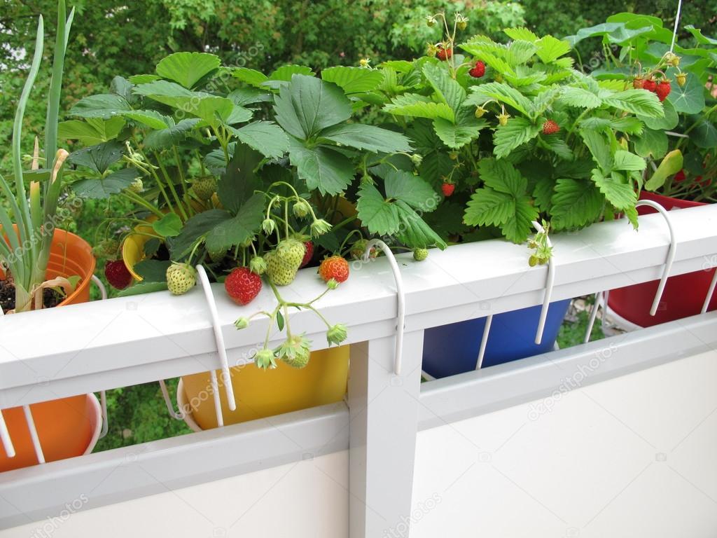 Выращивание клубники на балконе круглый год из семян и сажен.