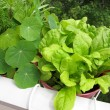 Stock Photo: Green chard in flowerpot on balcony
