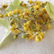 Dried linden flowers on paper — Stock Photo