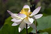 神圣的莲花 — 图库照片
