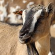 Stock Photo: Pygmy goat