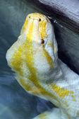 Indian python — Stock Photo