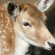 Doe in zoo — Stock Photo