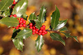 Ilex aquifolium — Stock Photo