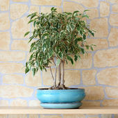 Ficus benjamina — Stock Photo