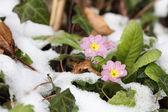 Primula vulgaris — Стоковое фото