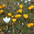 Stock Photo: Crocuses in spring