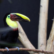Swainsons Toucan, Ramphastos ambiguus swainsonii — Stock Photo #22831692